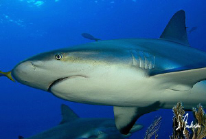 This image was taken while diving at Ginormous. Reef Shar... by Steven Anderson