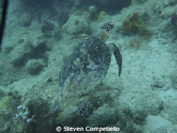 this is a endanger species of turtle. his name is tripod.... by Steven Competiello