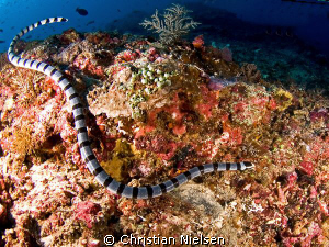 Banded Seasnake in Crystal Bay, Nusa Penida. Olympus E330... by Christian Nielsen