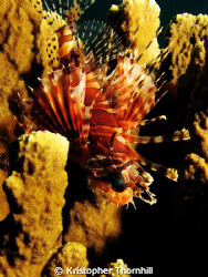 Lionfish hiding in a sponge. Canon S3IS with Ikelite hous... by Kristopher Thornhill