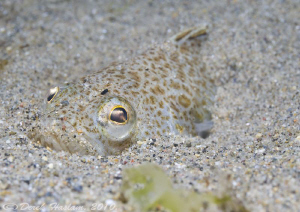 Lesser weever fish. Criccieth beach. D3, 105mm. by Derek Haslam
