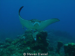 Spotted Eagle Ray and ride along by Steven Daniel