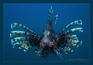 """""""Gypsy Queen"""" Lionfish in the blue water. Canon 100 macr... by Aleksandr Marinicev"""