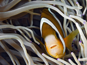 """""""Anemone Fish""""  Here and there I have to take a picture... by Henry Jager"""
