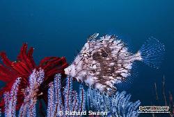 Close encounter with a Weedy Filefish... TARP Kota Kinaba... by Richard Swann