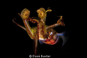 squid flaring for me by Dave Baxter