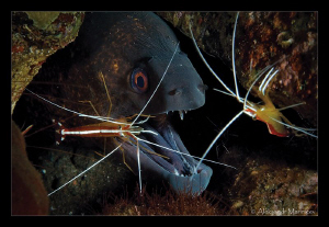 Giant moray and White banded shrimps by Aleksandr Marinicev