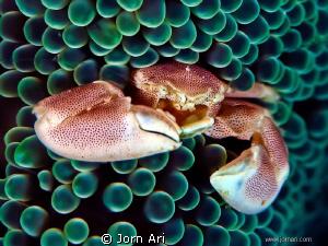 Porcelain Crab 10mm long. by Jorn Ari