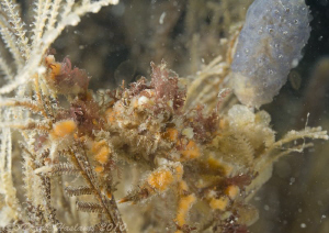 Short legged spider crab. Menai straits. D3, 60mm. by Derek Haslam