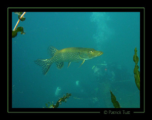 Always nice to see a pike  - Geneva lake - Lumix FX01 by Patrick Tutt