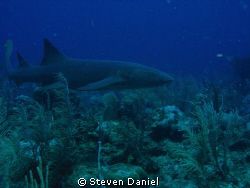 Nurse shark- Ambergris Caye by Steven Daniel
