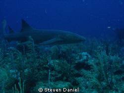 Nurse shark- Ambergris Caye by Steven Daniel