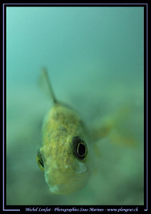 A Curious Perch looking into my Dom - probably at her ref... by Michel Lonfat