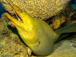 Green moray eel lounging on the deck of the El Aguila. by Toby Lynch