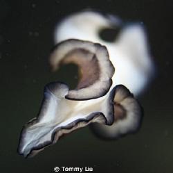 Night dive, saw a flatworm flying~ by Tommy Liu