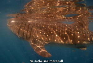 Whale shark, near Isla Holbox. by Catherine Marshall