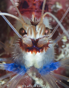Peppermint Shrimp - close up. by Larissa Roorda