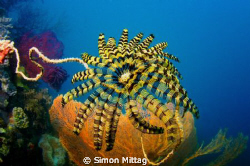 Crinoid, Palm Island, Townsville, Queensland, Australia by Simon Mittag
