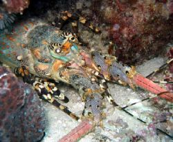 Painted Rock Lobster, Ningaloo Reef by Penny Murphy