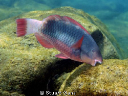 "A Parot fish ""Uhu"" sampling the algee in Sharks Cove. Yum... by Stuart Ganz"