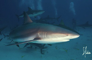 this Caribbean Reef Shark made its pass while closing in ... by Steven Anderson