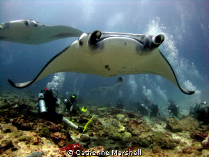 Manta rays, the Maldives. Canon Ixus 75 with inon wide an... by Catherine Marshall