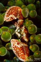 Porcelin Crab.  Canon 7D, 100mm macro, Aquatica and Inon. by Ryan Pedlow