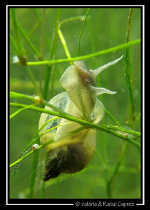 An other nice snail (Geneva Lake). Its body is tranparen... by Raoul Caprez