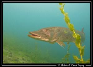 Pike in the Geneva Lake by Raoul Caprez