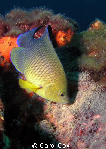 Cocoa Damselfish attending the nest.  Panama City, Florid... by Carol Cox