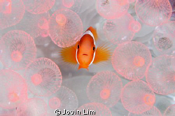 """""""Baby nemo in pink bubbles"""" An 'ironic' shot! Wonders of... by Jovin Lim"""
