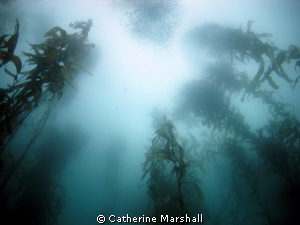Kelp forest, Fortescue Bay, Tasmania by Catherine Marshall