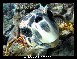 This turtle was attracted to its own reflection in the do... by Jackie Campbell