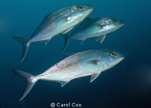 Amberjacks by Carol Cox