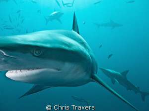 """""""Blacktips in the Sun"""" near Aliwal Shoal, South Africa. by Chris Travers"""