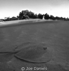 Leopard Whip Tail Ray by Joe Daniels