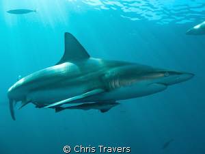 """""""Blacktip in The Sun 2"""" by Chris Travers"""