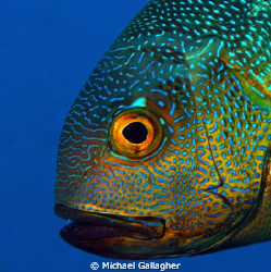 Midnight snapper portrait - one of my first underwater DS... by Michael Gallagher