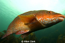 Ballan Wrasse up close by Mike Clark