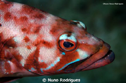Black comber, Serranus atricauda. Photo taken during a sc... by Nuno Rodrigues