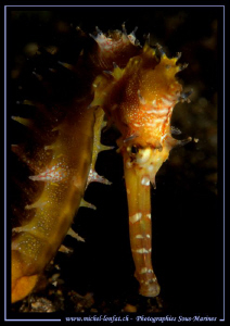 A Long-snouted seahorse met in the waters of Lembeh.... Q... by Michel Lonfat
