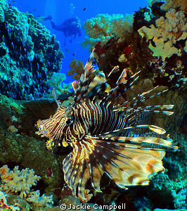 Lionfish at Shaab Rumi dive site in Sudan. Canon ixus 98... by Jackie Campbell