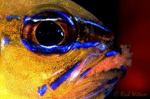 """Baby Sitting"" - Ring-tailed Cardinalfish (Apogon aureus)... by Richard Witmer"