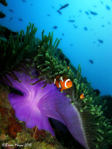 Anemone in current at 'Tokong Laut' in the Perhentian Isl... by Brian Mayes