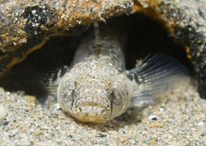 Sand goby. Criccieth beach. D3,105mm. by Derek Haslam