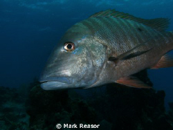 Mutton snapper checking me out! by Mark Reasor