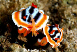 NudiBranchia with shrimp by Jagwang Koo