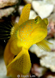 Watchful eyes - Yellow watchman goby (Cryptocentrus cinctus) by Jovin Lim
