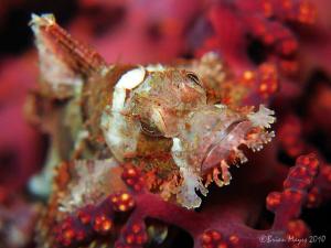 Tasseled Scorpionfish (Scorpaenopsis oxycephala) amongst ... by Brian Mayes