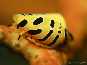 Allied Cowrie (Cuspivolva tigris) by Brian Mayes